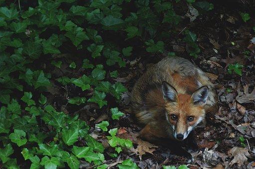 fox-2873404__340