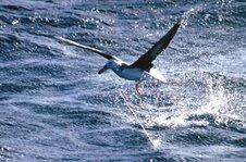 Albatross_hook