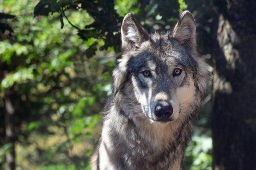 wolf-3280842__340