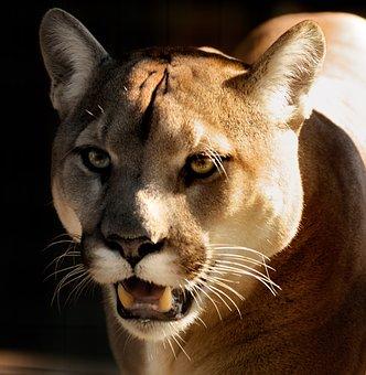 cougar-2873099__340