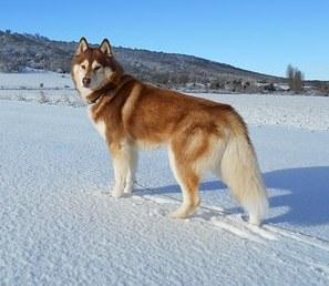 siberian-husky-1291343__340